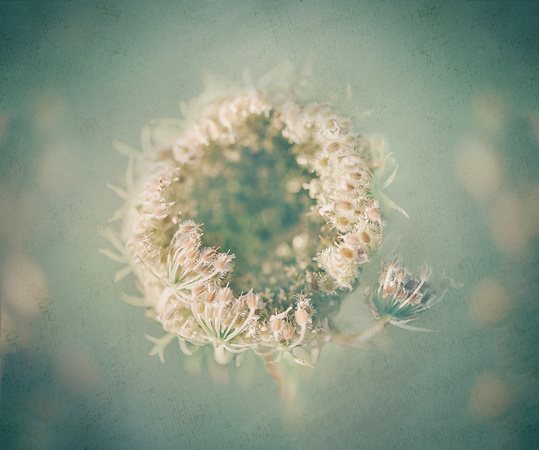 The Queen's Lace 2