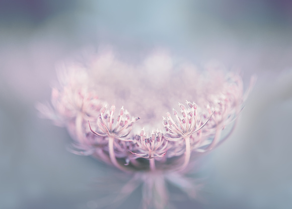 The Queen's Lace 1